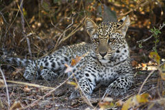 Leopard Cub. Resting in the Shade, South Luangwa National Park, Zambia, Africa Royalty Free Stock Image