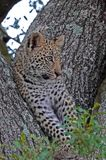 Kruger Leopard Cub. Leopard cub resting in treel in Kruger National Park, South Africa Royalty Free Stock Photos