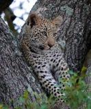 Kruger Leopard Cub. Leopard cub resting in treel in Kruger National Park, South Africa Royalty Free Stock Image