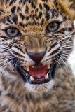 Leopard cub roar. Close-up of young leopard cub growling at the camera Stock Photography