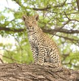 Curious Leopard Cub Perched on a Limb Royalty Free Stock Photography