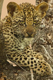 Leopard Cub Stock Photography
