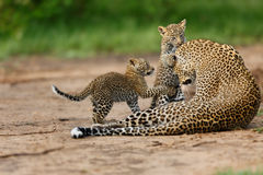 Leopard cubs playing with mother in Masai Mara, Kenya Royalty Free Stock Photo