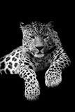 Leopard on dark background Royalty Free Stock Images