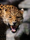 Leopard on dark background Royalty Free Stock Photo