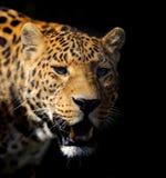 Leopard on dark background Royalty Free Stock Photos