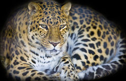 Leopard in a dark cave Royalty Free Stock Images