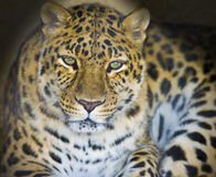 Leopard in a dark cave Stock Photography
