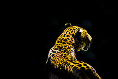 Leopard from the dark Royalty Free Stock Photos