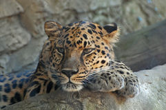 Leopard Daydreaming Stock Photos