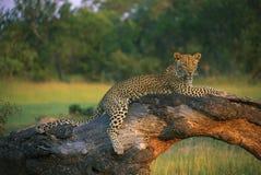 Leopard, der auf Baumstumpf liegt Lizenzfreies Stockfoto