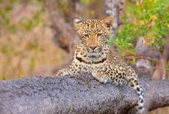 Leopard, der auf dem Baum liegt Stockbilder