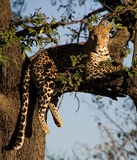 Leopard, der auf einem Baum liegt Stockfotografie