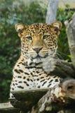 Leopard, der auf einem Baum liegt lizenzfreie stockfotos