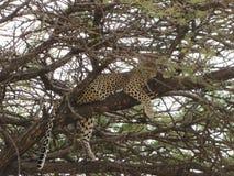 Leopard, der auf einem Baum stillsteht lizenzfreie stockbilder