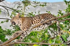 Leopard, der auf einem Baumast sitzt Lizenzfreies Stockbild