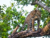 Leopard, der auf einem großen Baumast steht Sri Lanka Lizenzfreie Stockfotografie