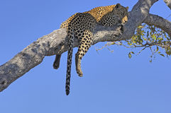 Leopard, der auf einem Zweig schläft Stockfotos