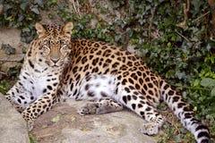 Leopard, der auf Felsen liegt Lizenzfreie Stockfotos