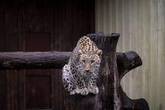 Leopard, der auf Stamm im Zoo sitzt stockfoto