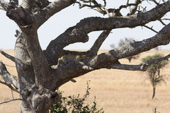 Leopard, der in Baum legt Stockfotografie