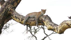 Leopard, der am Baum liegt Stockfotografie
