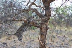 Leopard, der in Baum in Namibia springt Lizenzfreies Stockfoto