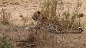 Leopard, der in das Gras legt stock video footage