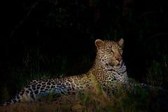 Leopard, der in der Dunkelheit liegt Stockfotografie