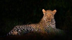Leopard, der in der Dunkelheit liegt Lizenzfreie Stockfotografie