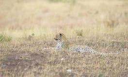Leopard, der in der Savanne stillsteht Stockbild