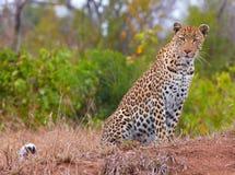 Leopard, der in der Savanne stillsteht Stockbilder