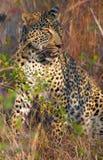 Leopard, der in der Savanne stillsteht Lizenzfreie Stockfotografie