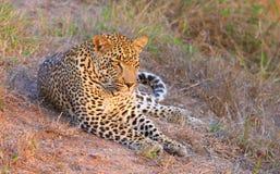 Leopard, der in der Savanne stillsteht Lizenzfreie Stockbilder