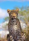 Leopard, der in der Savanne stillsteht Lizenzfreie Stockfotos