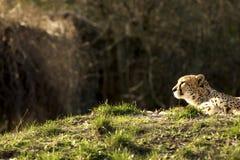 Leopard, der in der Sonne liegt Lizenzfreie Stockfotografie