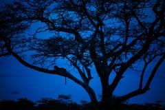 Leopard, der die blauen Stunden genießt Stockbild