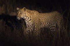 Leopard, der in Dunkelheitsjagdopfer in einem Scheinwerfer geht Stockfoto
