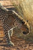 Leopard, der durch Gras geht Lizenzfreie Stockbilder