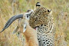 Leopard, der ein Opfer, Nationalpark Serengeti, Tansania fängt lizenzfreies stockfoto