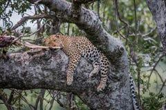 Leopard, der in einem Baum mit Tötung schläft lizenzfreie stockfotos