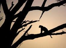 Leopard, der in einem Baum sitzt Lizenzfreie Stockbilder
