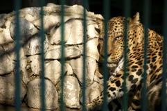 Leopard in der Gefangenschaft Stockfotografie