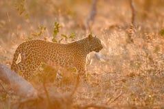 Leopard, der in goldenes Licht geht lizenzfreie stockfotografie