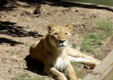 Leopard, der heraus kühlt Lizenzfreie Stockfotografie