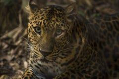 Leopard, der heraus schaut Stockfoto