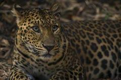 Leopard, der heraus schaut Lizenzfreie Stockfotos
