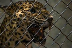 Leopard, der heraus von einem Draht schaut Lizenzfreie Stockbilder