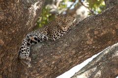 Leopard, der im Baum, Serengeti, Tanzania stillsteht Stockbilder