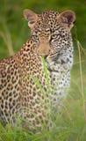 Leopard, der im Gras sitzt Lizenzfreie Stockfotos